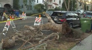 Powerful winds downed a tree in Beverly Grove, seen on Dec. 21, 2017. (Credit: KTLA)