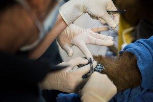 UC Davis and CDFW veterinarians carefully suture tilapia fish skin bandages to bear paws. (Credit: Karin Higgins / UC Davis)