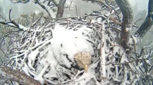A still from a livestream of a bald eagle nest near Big Bear Lake is shown on Jan. 9, 2018. (Credit: Institute for Wildlife Studies)