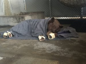 One of the bears rests in her enclosure after her treatment. Her paws are wrapped in corn husks meant to delay her efforts to chew off the tilapia skin bandages underneath. (Credit: California Department of Fish and Wildlife)