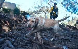 A member of a search and rescue team and his search dog sift through debris looking for victims on a property in Montecito, California on January 12, 2018. (Credit: FREDERIC J. BROWN/AFP/Getty Images)