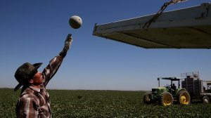 A worker harvests cantaloupes on a farm on Aug. 22, 2014, near Firebaugh in Fresno County. of laborers. (Credit: Justin Sullivan/Getty Images)