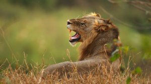 In this file photo, a lion is seen on the banks of the Luvuvhu river at the Pafuri game reserve on July 21, 2010 in Kruger National Park, South Africa. (Credit: Cameron Spencer/Getty Images)