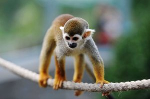 The FDA terminated a nicotine study on squirrel monkeys after four monkeys died. (Credit: VCG/Getty Images)