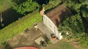The nimble cat leaped on a shed and over a hedge as it attempted to elude authorities on March 26, 2018. (Credit: KTLA)