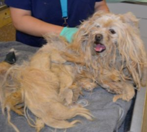 The dog's coat was completely matted, including some parts that were several inches thick. (Credit: Riverside County Department of Animal Services)