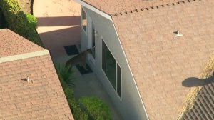 A mountain lion is seen in a backyard of a home in Azusa on March 26, 2018. (Credit: Sky5)
