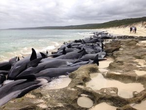 150 whales stranded in Western Australia near Hamelin Bay, 186 miles south of Perth, Western Australia/Preparations are underway to move the seven-surviving short-finned pilot whales into deeper water by nightfall. (Credit: Sam Maffett/Instagram)