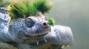 The Mary River turtle, native to Queensland, Australia, has a distinctive green punk-rock hairstyle, two spikes under its chin and the ability to breathe through its genitals. (Credit: Zoological Society of London)