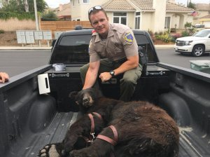 A bear was found by the Ventura Police Department in the area of Solano Street and San Bernardino Avenue in Ventura on May 30, 2018. (Credit: Ventura Police Department)
