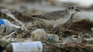 In a file photo, a shorebird is seen walking amid trash that washed ashore after a storm. (Credit: Mark Boster / Los Angeles Times)