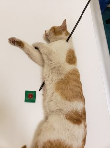 A 2-year-old domestic shorthair cat was rushed into emergency treatment after being found with an arrow penetrating its body in Perris on May 18, 2018. (Credit: Riverside County Department of Animal Services)