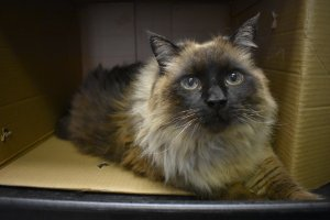 Chubbs has a sweet disposition, according to the Pasadena Humane Society, which released this photo of the cat.