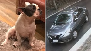 Long Beach police released these images of a French Bulldog stolen during a home burglary and the suspect vehicle in the case on June 18, 2018.