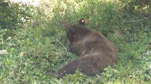 A bear was tranquilized after wandering through a Granada Hills neighborhood for hours on July 17, 2018. (Credit: KTLA)