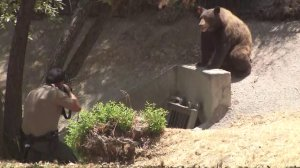 A warden fires a tranquilizer dart at a bear in Granada Hills on July 17, 2018. (Credit: KTLA)