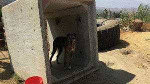 Sadie the Great Dane was reunited with her family after deputies found her in Jurupa Valley on Aug. 24, 2018, two years after she was stolen. (Credit: Riverside County Sheriff's Department)