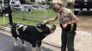 Deputies used Doritos to lure a large, wayward pig back home after it escaped in Highland on Oct. 13, 2018. (Credit: San Bernardino Sheriff's Department)