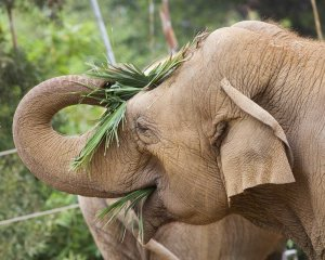 Sujatha spent 20 years at the Santa Barbara before her caretakers there had to euthanize her on Oct. 16, 2018. (Credit: Santa Barbara Zoo)