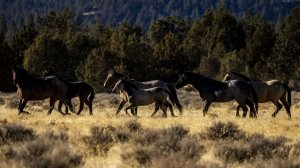 Wild horses roam in Modoc National Forest near the city of Alturas in Northern California in this undated. The plan to reduce the horse population has been controversial. (Credit: Kent Nishimura / Los Angeles Times)