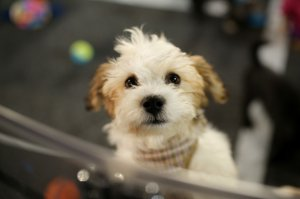 A puppy is seen as part of the Shelter Pet Project during the 2015 MTV Video Music Awards at Microsoft Theater on Aug.30, 2015 in Los Angeles. (Credit: Mike Windle/Getty Images)