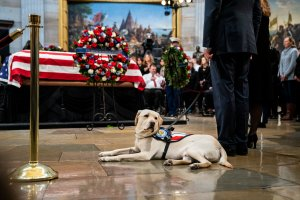 Sully, a yellow Labrador service dog for former President George H. W. Bush, sits near the casket of the late former President George H.W. Bush as he lies in state at the U.S. Capitol, Dec. 4, 2018, in Washington, D.C. (Credit: Drew Angerer/Getty Images)