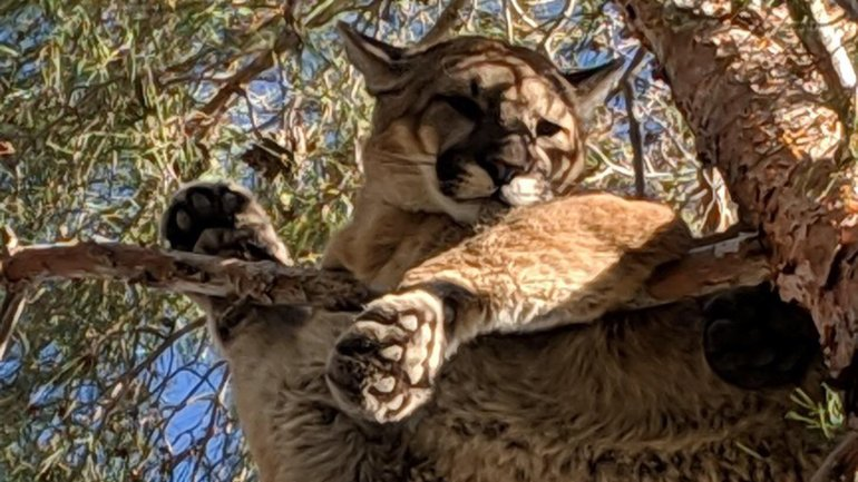 San Bernardino firefighters and California Fish & Wildlife officials teamed up to rescue a young mountain lion that got stuck in a tree in Hesperia on Feb. 16, 2019. (Credit: California Department of Fish & Wildlife)