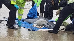 The Pacific Marine Mammal Center released this photo of one of the beached dolphins.