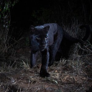 Will Burrard-Lucas shot images of a black leopard at Laikipia Wilderness Camp in Kenya.