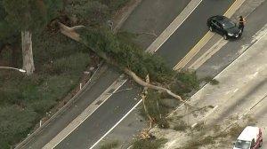 A tree is seen knocked over along the 405 Freeway on Feb. 21, 2019. (Credit: KTLA)