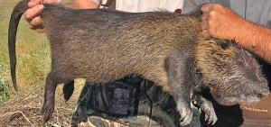 An adult male nutria is seen in this file photo posted on the California Department of Fish and Wildlife's website.