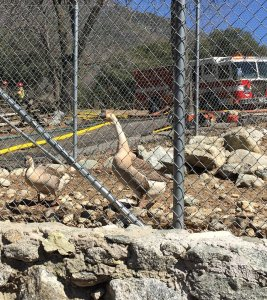 Two geese rescued from a fire at the Mountain Town Museum in Oak Glen are pictured on March 14, 2019. (Credit: Cal FIre)