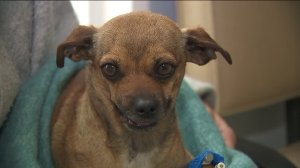 Kaylen, a chihuahua mix, is seen receiving care at McGrath Veterinary Center in Encino. (Credit: KTLA)
