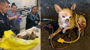 In photos released by the Santa Ana police Department on March 5, 2019, Max the dog is seen being treated at Orange County Emergency Pet Clinic (left) after being found tied in electrical wires (right).