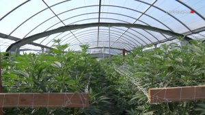 Police seized 40,000 marijuana plants, valued at $20 million, from an illegal farm in Riverside on April 18 and 19, 2019. (Credit: LoudLabs IE)