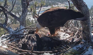 Bald eagle Jackie and eaglet Simba are seen at their nest near Big Bear Lake after a nonprofit announced that a second eaglet, Cookie, died of apparent hypothermia on May 27, 2019. (Credit: Friends of Big Bear Valley)