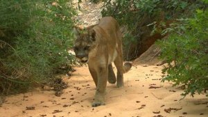 The boy was possibly attacked by a mountain lion, officials say. A mountain lion is seen in a file photo from the National Park Service and distributed by CNN.