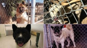 Akitas identified as being involved in bite incidents tied to a kennel in Romoland are seen in images released May 31, 2019, by the Riverside County Department of Animal Services.