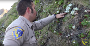 An officer is seen replanting succulents in a Northern California cliff in an undated photo provided by U.S. Fish & Wildlife.