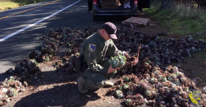 An officer looks through seized succulents before they are replanted in Mendocino and Humboldt county cliffs in an undated photo provided by U.S. Fish & Wildlife.