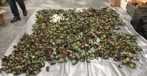 Dudleya plants that were seized by officers in April 2018 are seen laying on a tarp in an undated photo provided by the California Department of Fish & Wildlife.