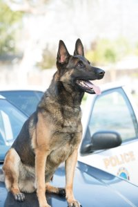 Long Beach PD K-9 Ozzy