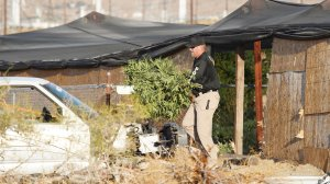 An investigators carried a marijuana plant during a raid at an illegal grow site in North Palm Springs on Sept. 19, 2019. (Credit: Riverside County District Attorney's Office)