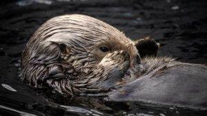 Sea otter Rosa swims in the sea otter exhibit. (Credit: Monterey Bay Aquarium)