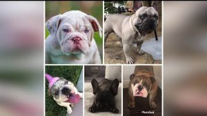 Five stolen dogs are seen in these undated images provided by the dogs' owners.