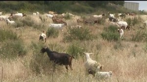 A herd of goats munches away on brush, aiding in fire prevention efforts, in Laguna Beach on Oct. 18, 2019. (Credit: KTLA)