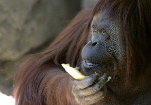 Sandra the orangutan eats some fruit at Buenos Aires' zoo, on Dec. 22, 2014. (Credit: Juan Mabromata/AFP via Getty Images)
