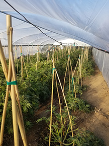 Marijuana plants grown illegally in Anza on Nov. 26, 2019. (Credit: Riverside County Sheriff's Department)