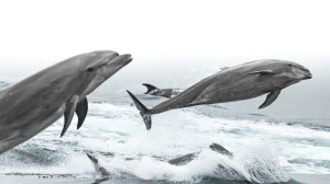 Bottlenose dolphin jump beside a whale watching vessel on Dec. 5, 2019. (Credit: Chelsea Mayer)