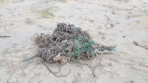 A necropsy found 220 pounds of debris in the whale's stomach, including sections of fishing nets. (Credit: Dan Parry)